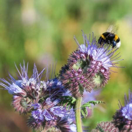 Klassische Bienenweide: Phacelia
