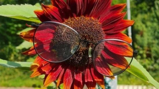 Eine Sonnenblume namens Frank